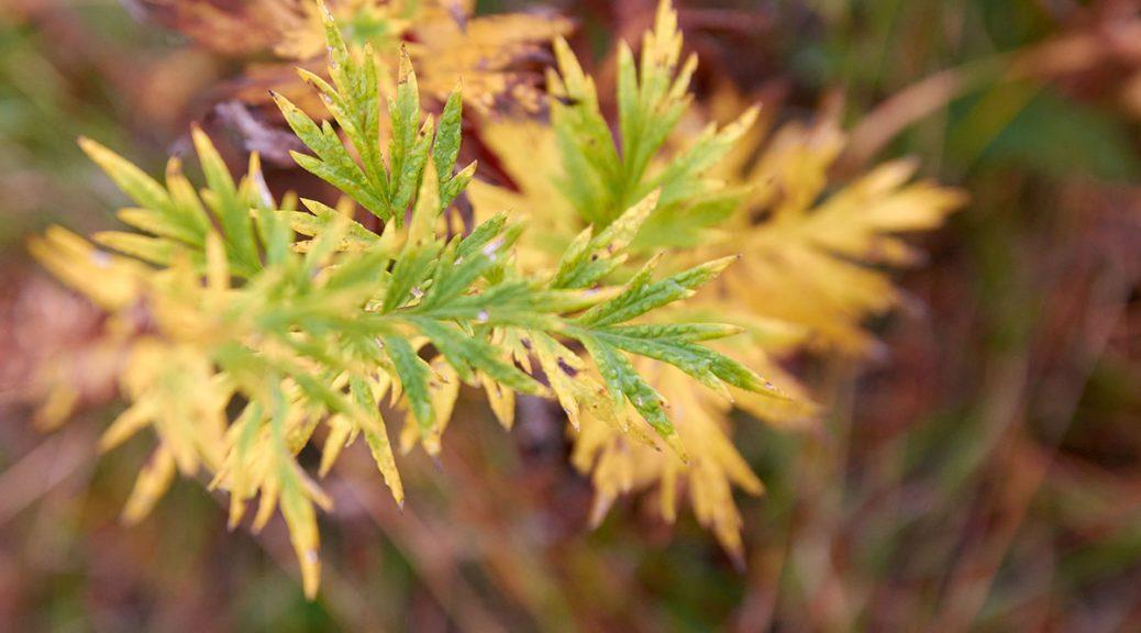 Reigando budo, jujutsu, juniorit, syysloma, syksyinen kellertävälehtinen kasvi